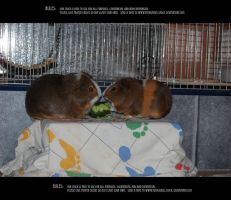 Guinea pigs 1 by Mithgariel-stock