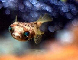 Baby Puffer Fish by KelliKat