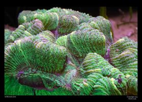 Brain Coral by neilcreek