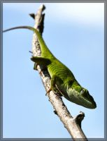 Green Anole 40D0041521 by Cristian-M