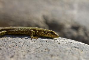 Lizard by haakenson-stock