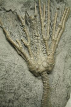 Crinoid by wolfnipplechips