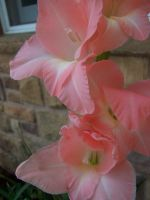 Pink Gladiolus by theNanna