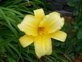 Yellow Lily. by BloodStainedSharpie