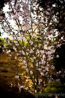 Cherry Blossom - Day 113 - 23/04/13 by oEmmanuele