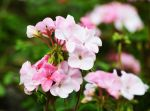 Pink Flowers by Boran-Tatli