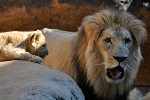 African Lion by Misty-Dawn