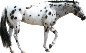 Appaloosa Tackless Cutout by Filly8