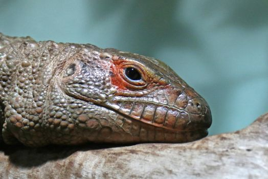 Northern caiman lizard by BetaDraconis
