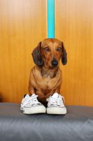 Dachshund in shoes by vitadacani