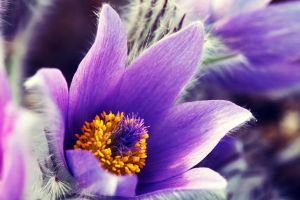 pasqueflower by AlleyCat91