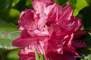 Rhododendron - 07 by PrimalOrB