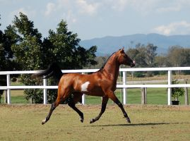 GE arab pinto trot elevated all legs off ground by Chunga-Stock