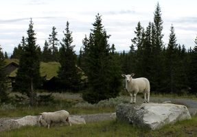 Sheeps of Norway by Heddas