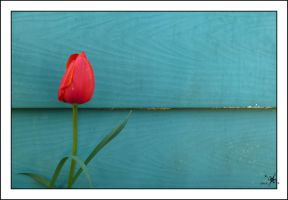 The tulip by cradeloso