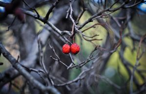 malus sp., crab apple by Rozina