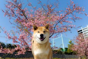 Cherry Blossoms by marustagram