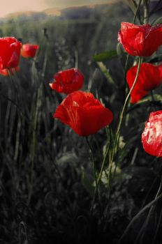 Middle June Poppies by Callu
