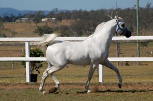 GE Arab white trot side view by Chunga-Stock