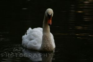 Mute Swan by ohmyhii