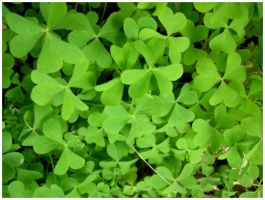 Clovers by shawn529