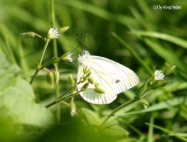Grosser Kohlweissling / Large White by bluesgrass
