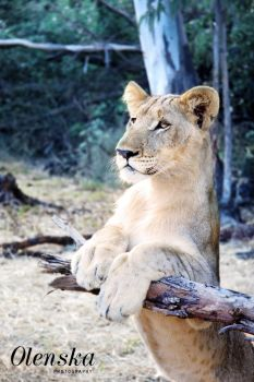 Lionceau, teenager lion by L-Olenska