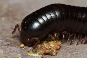 Millipede by andabata