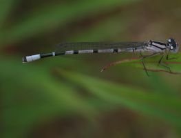 dragon or mayfly? by tap69