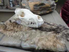 Free Wolf Skull And Fur Stock 2 by Fiveleafwolf