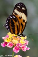Longwing Butterfly by JeRReZ