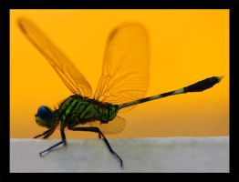 dragonfly by 4dreamer