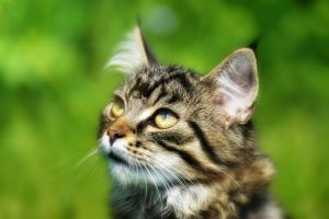 Silver - Maine Coon - Portrait by Manu34