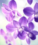 Dendrobium - my blue angel by hv1234
