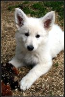 Berger Blanc Suisse II by LordSaddler