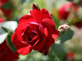 Red Rose1 by sidneyj06
