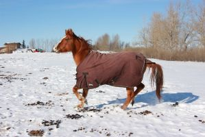 Blanketed horse trotting through snow 2 by eluhfunt-stock
