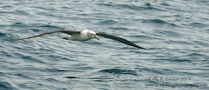 NZ White Capped Albatross by Shadow-and-Flame-86