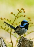 Superb Blue Fairy Wren by jmbamboosumi