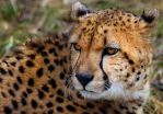 Cheetah 5 by nigel3
