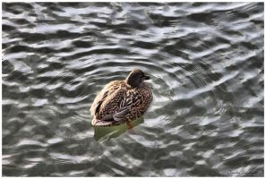 Ducky by Claudia008