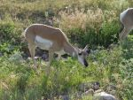 Smiling Pronghorn by opiumprincess
