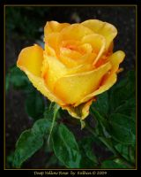 Deep Yellow Rose 040 by Eolhin
