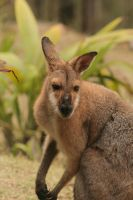 Wallaby close up by TIGER-angel