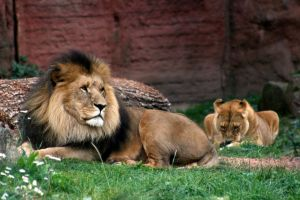 Lions laying around 2nd by Pattarchus