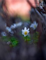 wood anemone by efeline
