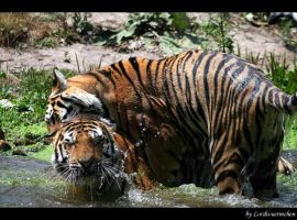 Tiger siblings play by AF--Photography