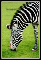 Zebra portrait by declaudi