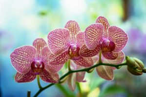 Three orchids by Vironevaeh