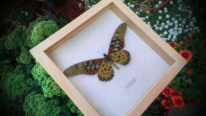 RARE! GIANT African Swallowtail Butterfly by YourFramedButterfly